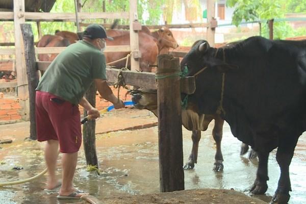 Lò mổ bơm nước vào bụng bò để tăng trọng lượng