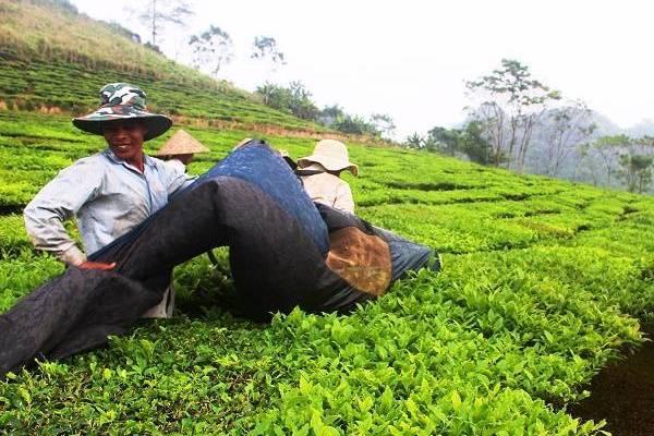 Thu nhập tăng nhờ chuỗi liên kết trong sản xuất nông nghiệp hàng hóa