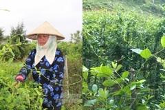 Chuyển sang trồng dược liệu sạch, nông dân Hải Lộc từng bước thoát nghèo