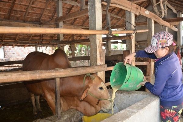 Nhiều hộ dân Quảng Ngãi thoát nghèo nhờ phát triển chăn nuôi nông hộ