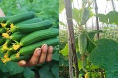 Nông dân Lộc Bình thành công với mô hình sản xuất dưa chuột nếp bao tử