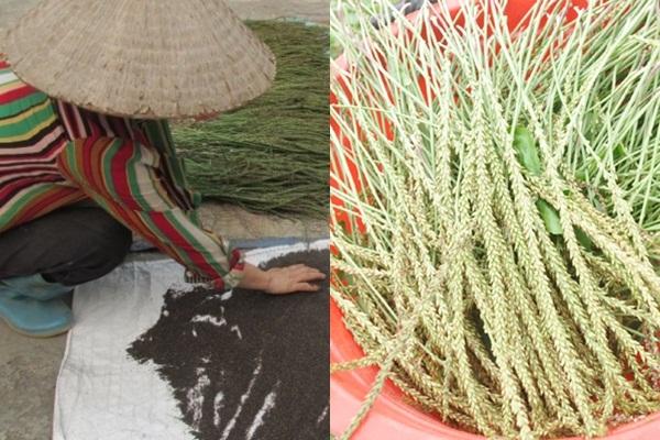Mã đề: Cây giảm nghèo bền vững cho hàng chục nông dân ở Hưng Yên