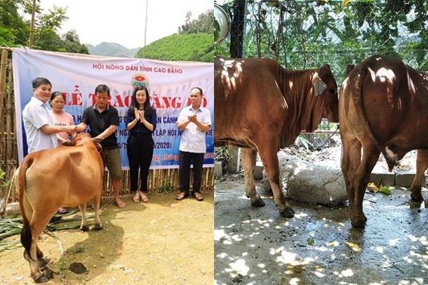 Cao Bằng: Tặng bò sinh sản để hộ nghèo có điểm tựa vươn lên