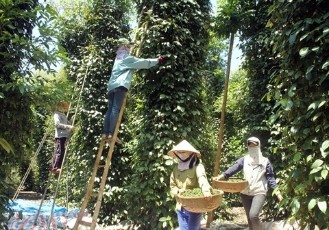 India might tighten pepper imports from Vietnam, ministry warns
