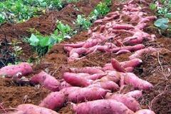"""Nông dân Kiên Giang có """"của ăn, của để"""" nhờ khoai lang"""