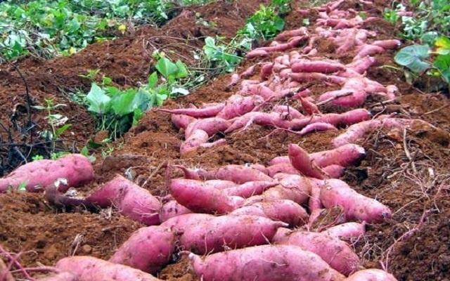 Nông dân Kiên Giang có 'của ăn, của để' nhờ khoai lang