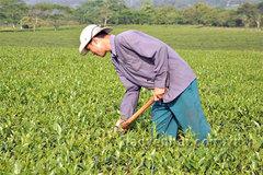 Bà con ở Văn Chấn có cuộc sống khấm khá là nhờ cây chè