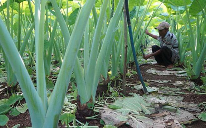Trồng cây tai voi lớn, lạ mà quen, nông dân bỏ túi trăm triệu đồng/năm