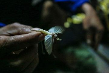 Kỳ lạ loài côn trùng chỉ sống vài tiếng trong đời nhưng khi thành món ăn thì gây nghiện