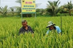 Nông dân xã Lình Huỳnh hưởng lợi từ mô hình canh tác lúa thông minh thích ứng với biến đổi khí hậu trên đất phèn mặn