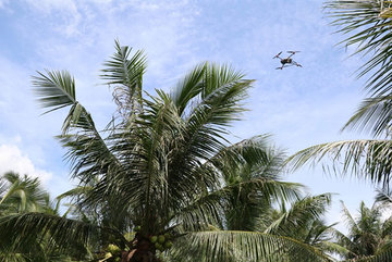 Country's main coconut areaattacked by pest that appears for first time in province