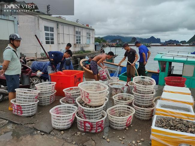 Đổ ngao hai cùi xuống biển vì không ai mua: Những chia sẻ 'đắng lòng' của ngư dân Vân Đồn