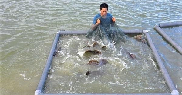 Tôm hùm, cá mú giảm giá sốc vẫn ế, người nuôi 'méo mặt' bỏ nghề hàng loạt