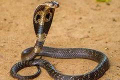Bác sĩ hướng dẫn cách xử trí khi bị rắn độc cắn