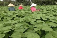 Trồng rau 'thức' cả ngày lẫn đêm, nông dân Đồng Nai hái lá bán sang Hàn Quốc thu tiền tỷ