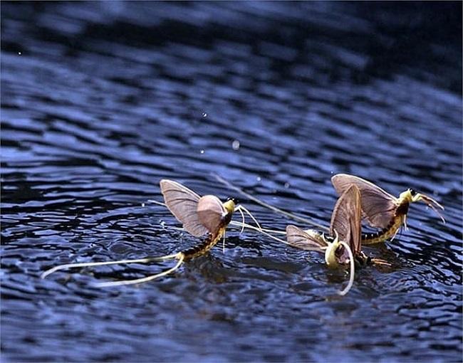 Kỳ lạ loài côn trùng 'vật vờ' ngoài sông Hồng giá hàng triệu/kg