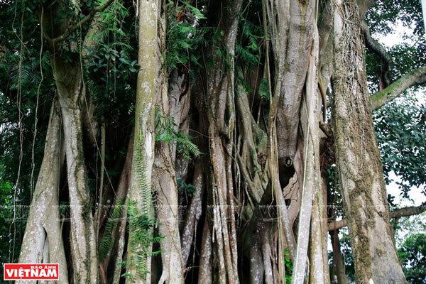 ancient trees,vietnam travel,hanoi travel