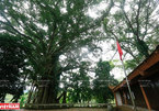 The heritage banyan at a sacred temple