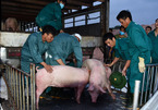 100,000 pigs imported from Thailand within two months, pork price falls