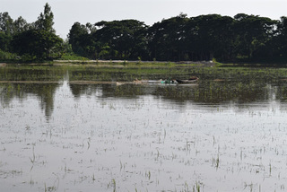 Mekong Delta to release floodwaters into rice fields to fertilise soil, destroy pests