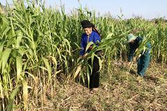 Trồng ngô sinh khối liên kết, hướng đi mới giúp nông dân làm giàu