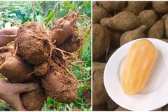 Rộ mùa khoai sâm Lào Cai: Thơm mùi nhân sâm nhưng giá rẻ như khoai lang