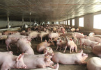 Pork price high, livestock companies pocket high profits