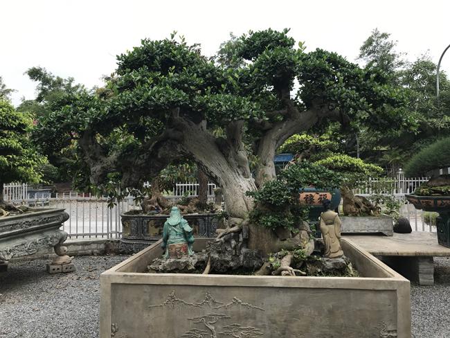 Chăm cụ duối nghìn năm tuổi, thú vui tiền tỷ của đại gia Việt