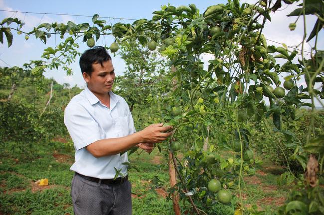 Đắk Lắk: Giá chanh dây chỉ còn 2.000 đồng/kg, lỡ trồng ồ ạt, đành để rụng đầy gốc