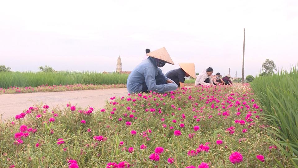 Khen chê quanh việc TT-Huế đặt 200 chiếc lu trồng hoa giấy