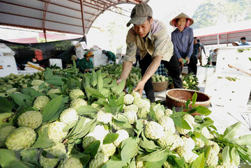 Lang Son actively promotes 'Chi Lang' custard apple specialty