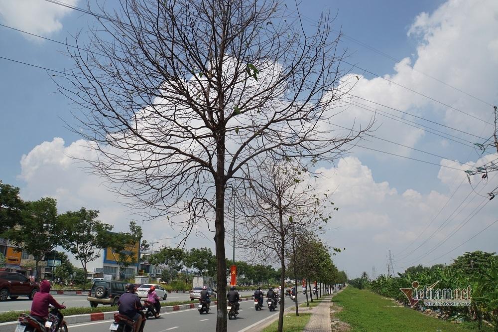 Đàn sâu xanh vặt trụi lá cây trên đường nội đô đẹp nhất Sài Gòn