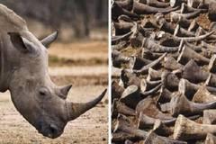 Phát hiện 126,5 kg sừng tê giác trên chuyến bay từ Dubai về Việt Nam