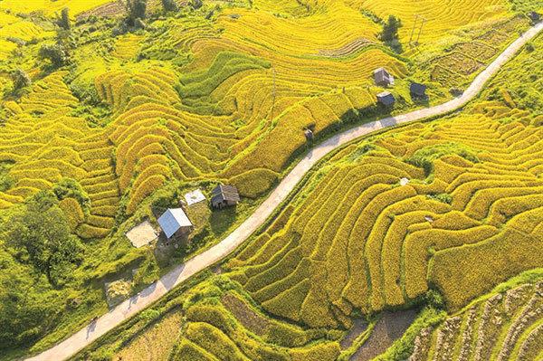 Yellow season arrives in Vietnam's northwestern region