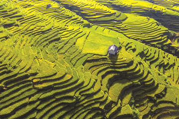 Yellow season arrives in Vietnam's northwestern region