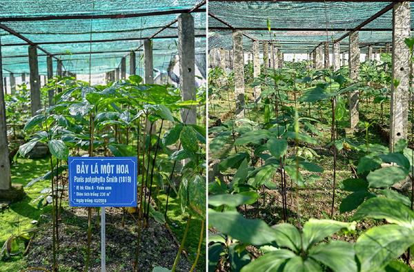 Bảo tồn, phát triển dược liệu sạch thuần Việt ở Nghệ An