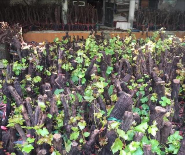Cú lừa nho thân gỗ: Bán nhành 'củi khô', thu hàng chục triệu đồng mỗi tháng