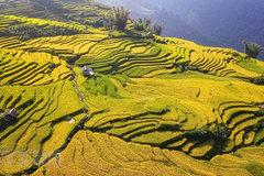 Season of ripening rice in Y Ty Commune