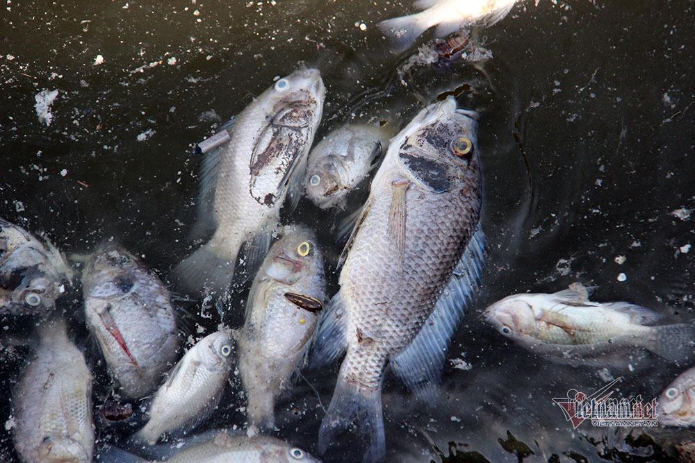 Cá chết trắng hồ điều hòa, bốc mùi hôi thối khủng khiếp