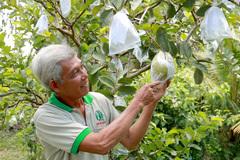 Nông dân Đồng Tháp trồng 120 cây ổi lạ, ra trái to bự bất thường