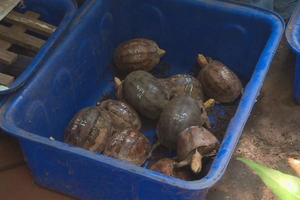 Bị khởi tố vì nuôi nhốt gần 50 con rùa hộp trán vàng quý hiếm