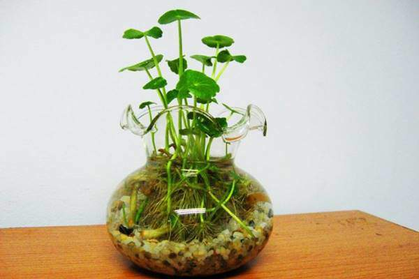 Phong thuỷ bất ngờ từ những cây thuỷ sinh quen thuộc trồng trong nhà