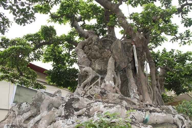 Dàn 'siêu cây' triệu USD, đại gia đổi đất, đổi nhà cũng không thể sở hữu