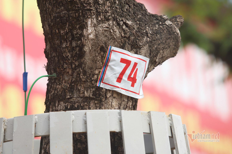 Truyền dịch 'cấp cứu' hàng cây quý như vàng trên phố Hà Nội