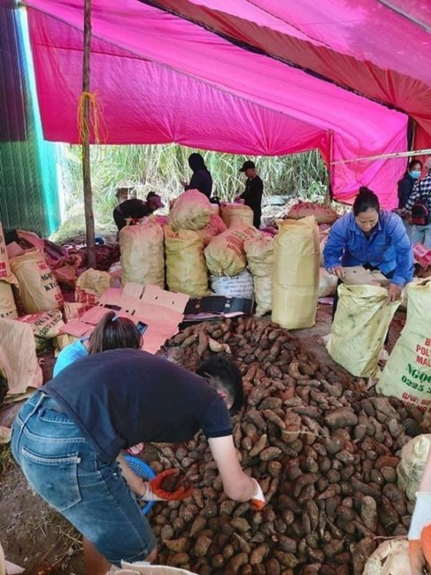 Trồng loại sâm Việt ngọt như lê, giá rẻ như khoai lang, kiếm chục triệu dễ dàng