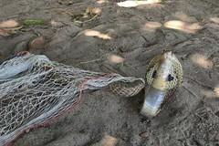 Nín thở xem giải cứu rắn hổ mang chúa kịch độc