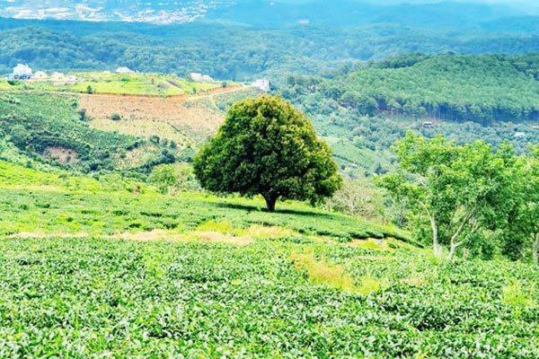Da Lat,tea farm,tourism development,travel news