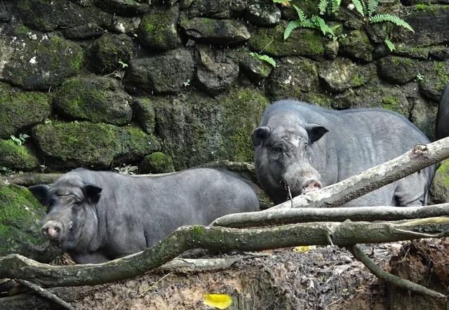 Nuôi lợn rừng lấy nanh: Phục vụ thú chơi mới kỳ công của đại gia Việt