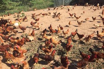 Chicken and termite grill delight