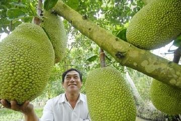 Mít Thái bất ngờ tăng giá gấp 3 lần, thương lái đổ về vườn lùng mua